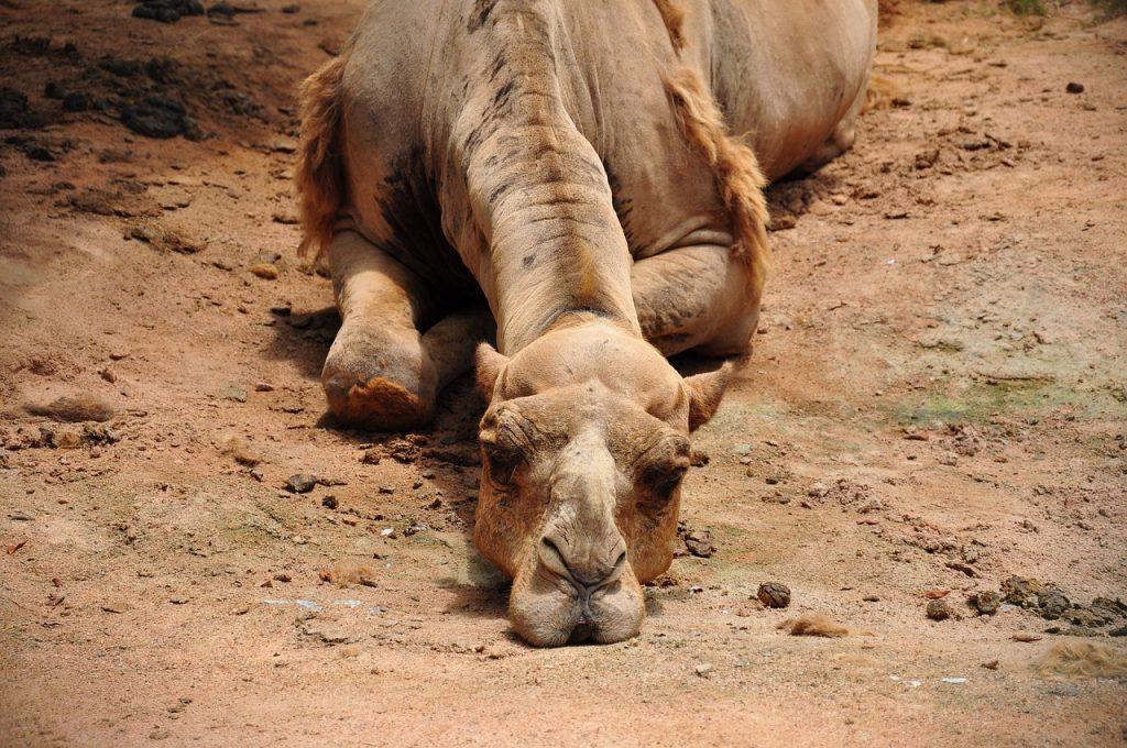 camel-993822_1280